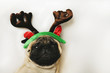 Pug dog with Christmas horns on white