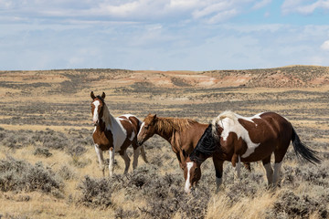 Wild Horses from the McCullough Peaks Herd in Wyoming