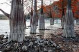 Mystic red cypress tree wood autumn beautiful dramatic scenic landscape