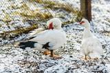 Домашние утки на первом снегу