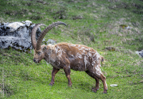 Poster Molting ibex in the wild at Oeschinensee, Bernese Oberland, Switzerland