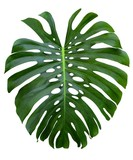 monstera large jungle green leaf, Swiss Cheese plant,  holes and splits, isolated on white background - 128559570