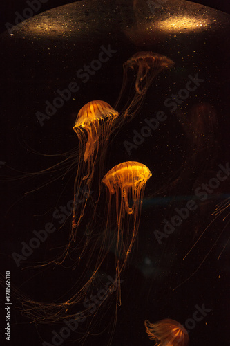 Fototapeta Japanese sea nettle Jellyfish, Chrysaora pacifica, can range in color from gold to red. Their dark stripes extend from the top to the bottom of the bell.