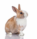 Little dwarf rabbit isolated on white