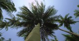 Exotic palm tree in the Jungle. Tracking shot around the Palm tree
