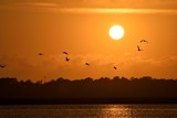 Pelicans silhouette flying at sunset