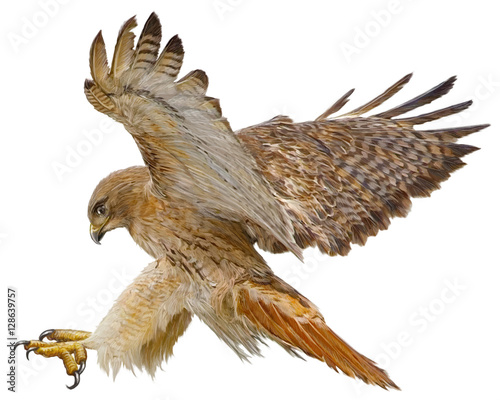 Red tail hawk landing attack hand draw and paint vector illustration.