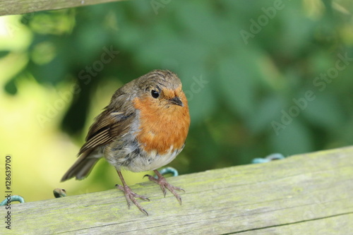 Poster Robin in the garden