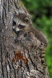 Young Raccoon (Procyon lotor) Sits on Side of Tree