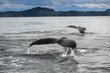 Double Humpback Whale Flukes, Alaska