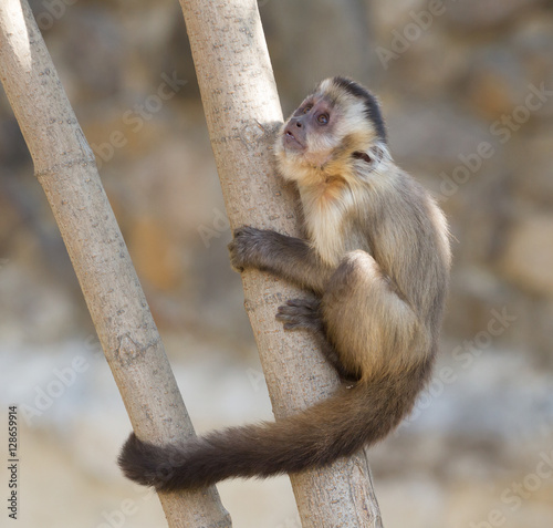 Poster, Tablou Capuchin monkey on the tree