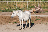 White Camargue Horse in a farm, France