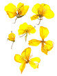 Transparent dried pressed yellow eschscholzia