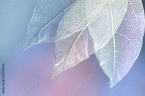 White transparent skeleton leaves with beautiful texture on a blue, lilac and pink abstract background blurred close-up macro. Romantic gentle artistic image.