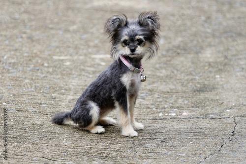 Poster Cane piccolo grigio - little funny dog