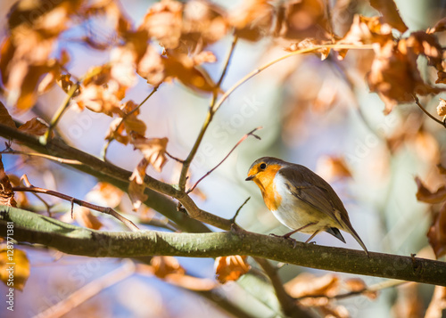 Poster Cute little red robin bird perched in an autumn tree