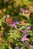 Peacock butterfly enjoys nectar on clover flower