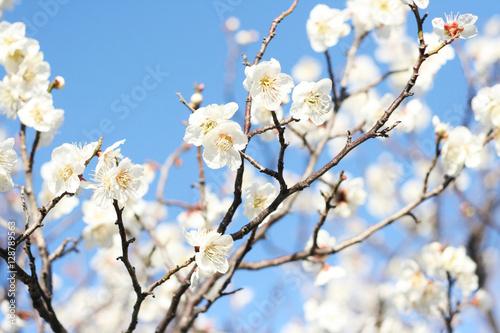 White cherry blossom Poster