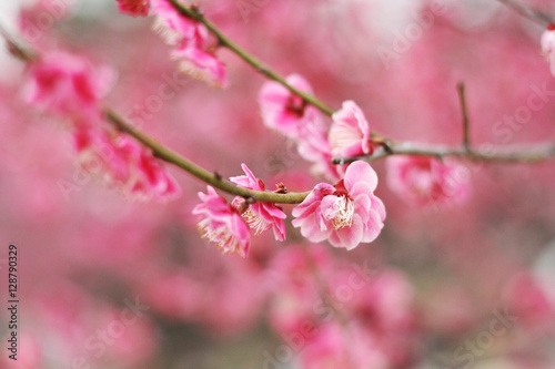 Pink plum blossom Poster