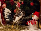 Cock enjoying Christmas near the Christmas tree.
