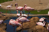 Flamingo - 128802956