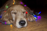 sleeping golden retriever in glowing Christmas lights