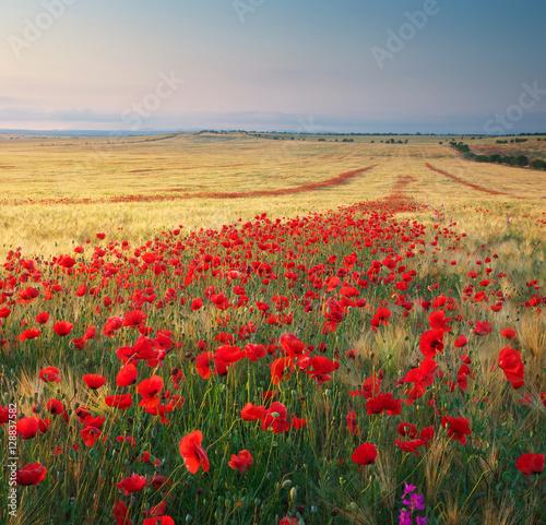 Obraz na Szkle Meadow of wheat and poppy.