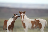 Wild Mustang Foals in Wyoming