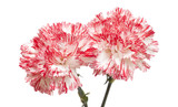 white and bright pink carnation isolated