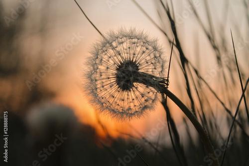 Fototapety, obrazy : Pusteblume bei Sonnenuntergang