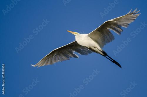Poster Great Egret Flying in Blue Sky