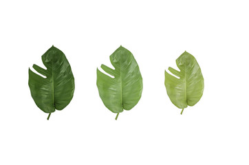 Grean leaf isolated on white background