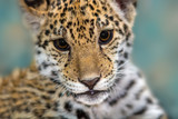 Jaguar baby close up portrait on blue background