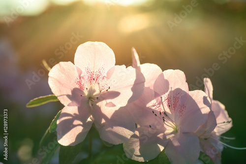 Fotobehang Azalea Spring flowers azalea in sun light