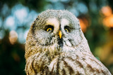The great grey owl or great gray owl ,Strix nebulosa, is a very large owl