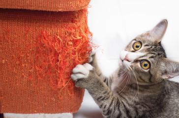 Kitten scratching fabric sofa