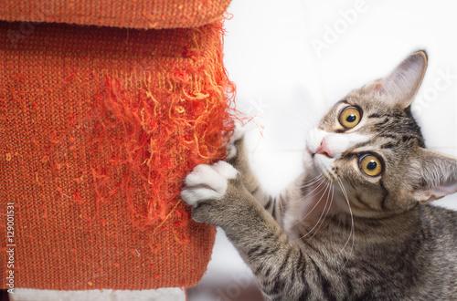 Fototapeta Kitten scratching fabric sofa
