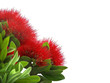 Pohutukawa, New Zealand Christmas Tree