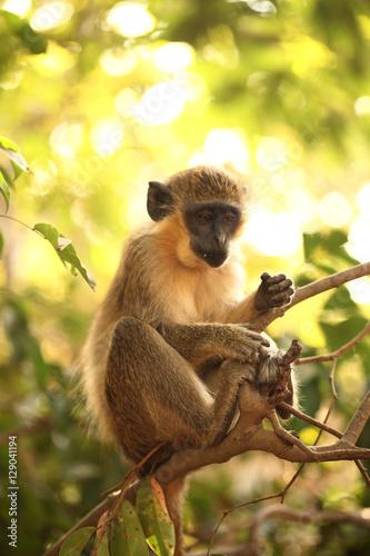 Poster, Tablou monkey on a tree