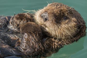 Sea otter floating in Seward harbor, Alaska.