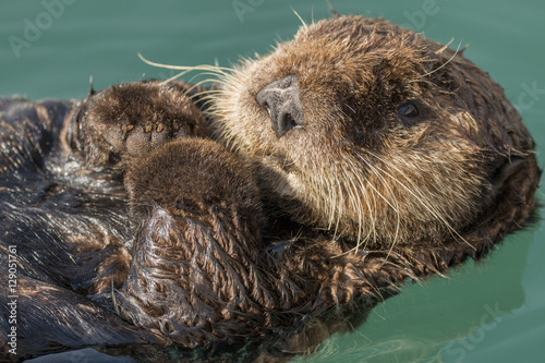 Sea otter floating in Seward harbor, Alaska. Poster