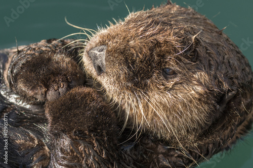Sea otter floating in Seward harbor, Alaska. Canvas Print