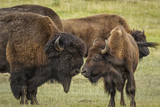 Bison couple nudging noses during the rut in Yellowstone Nationa