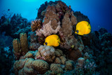 Masked Butterflyfish (Chaetodon semilarvatus) on the reef, Ruqia Island, Red Sea, Egypt