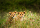 Wild lion cubs wait for mother to return from hunting