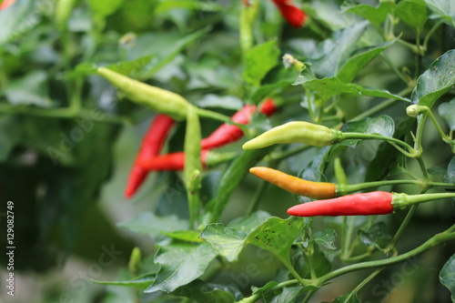 Poster Red chilies freshness on tree, spicy