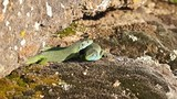 Two bright, colorful lizard on the mountain. The courtship period.