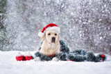labrador dog posing for Christmas in the snow