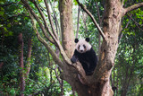 Giant Panda sitting in a tree and looking at camera - Chengdu, Sichuan Province, Chengdu
