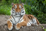 Fototapety Siberian tiger (Panthera tigris altaica)